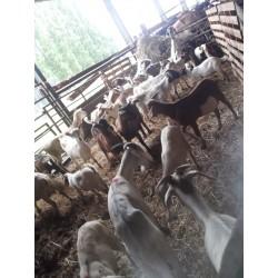 Goat Qurbani 20kg + approx